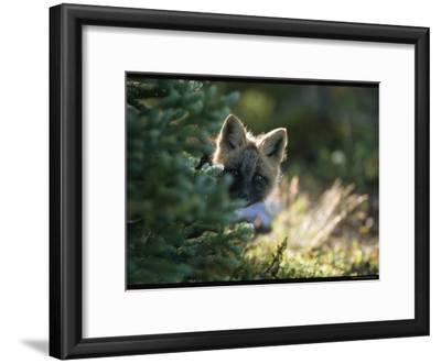 A Red Fox Pup Peering from Behind an Evergreen