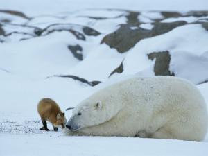 A Red Fox, Vulpes Vulpes, Noses a Polar Bear, Ursus Maritimus by Norbert Rosing