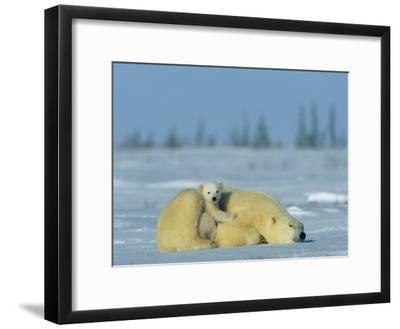 A Sleepy Polar Bear Mother (Ursus Maritimus) Serves as a Protective Bed for Her Cub
