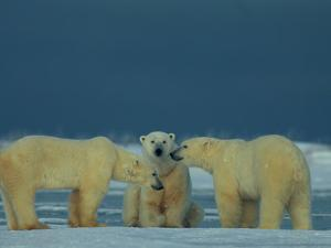 A Trio of Polar Bears (Ursus Maritimus) Playing by Norbert Rosing