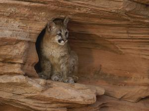 A Young Mountain Lion Rests in a Rocky Niche by Norbert Rosing