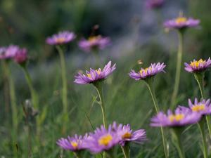 Alpine Asters, Aster Alpinus, in Bloom by Norbert Rosing