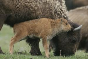 American Bison Calf Stands Next to Mother by Norbert Rosing