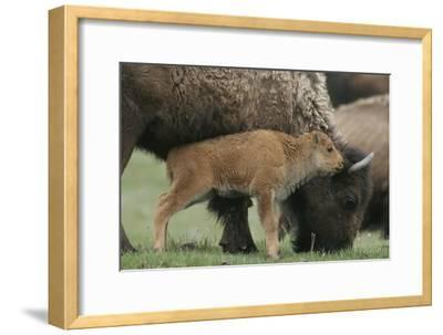American Bison Calf Stands Next to Mother