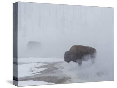 American Bison Graze in a Cloud of Fog Caused by Melting Snow