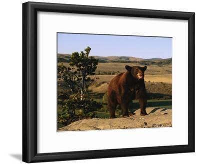 An American Black Bear Stands Atop a Rock