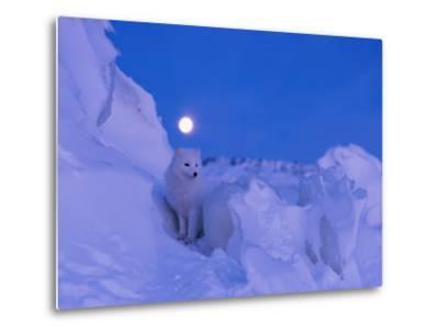 An Arctic fox under a full moon on a February morning