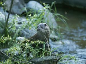 An Otter Sits Beside a River by Norbert Rosing
