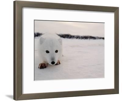 Arctic Fox, Alopex Lagopus, in it's Winter Coat, Approaching Camera
