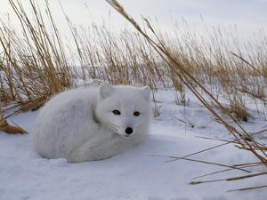 Arctic Fox, Alopex Lagopus, in it's Winter Coat, Snuggled Down in Snow by Norbert Rosing