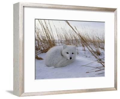 Arctic Fox, Alopex Lagopus, in it's Winter Coat, Snuggled Down in Snow