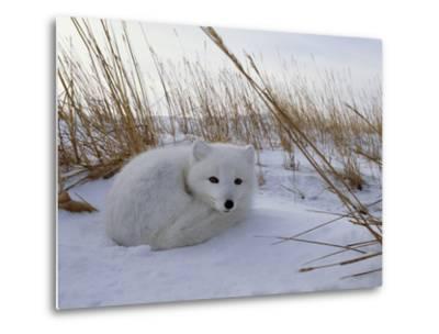 Arctic Fox, Alopex Lagopus, in it's Winter Coat, Snuggled Down in Snow