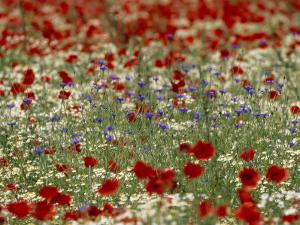 Bachelor Buttons, Poppies, and Other Flowers in Bloom by Norbert Rosing