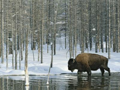 Bison Stands in a Cold Stream