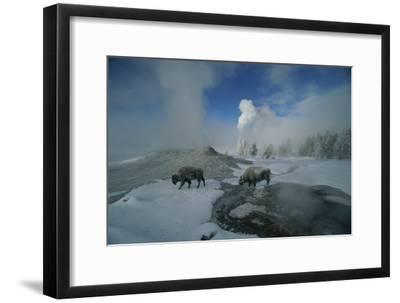 Bison Walking in Front of Lion Geyser in Deep Winter