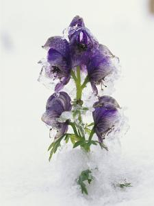 Blue Monkshood Flowers in Ice, Berchtesgaden National Park, Germany by Norbert Rosing