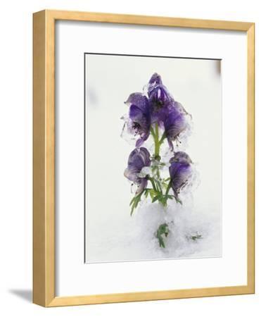 Blue Monkshood Flowers in Ice, Berchtesgaden National Park, Germany