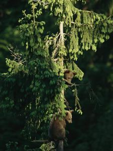 Brown Bear Cubs in Tree, Bayerischer Wald National Park, Germany by Norbert Rosing