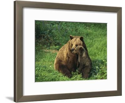 Brown Bear with Cub, Bayerischer Wald National Park, Germany