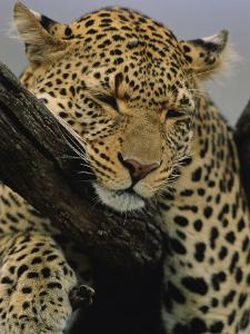 Close View of Leopard Sleeping in Tree by Norbert Rosing