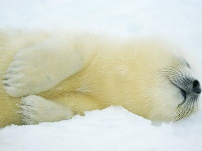 Close View of Sleeping Two-Day-Old Harp Seal Pup