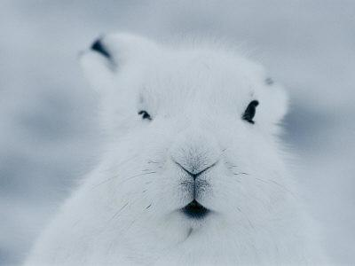 Close View of the Face of an Arctic Hare in Winter