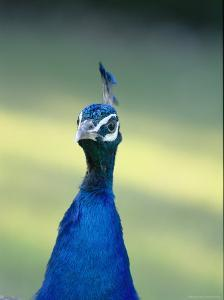Close View of the Head and Neck of an Indian Peacock by Norbert Rosing