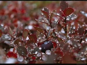 Droplets of Water on the Red Leaves of an Arctic Plant by Norbert Rosing