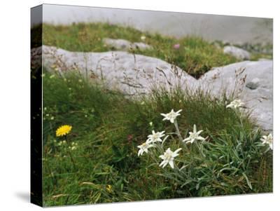 Edelweiss Flowers Blooming Among Rocks