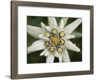 Eidelweiss Flower, Symbol of the Alpine World