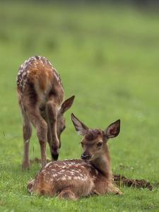 Elk Fawns, Ceruvs Elaphaus, in a Meadow by Norbert Rosing