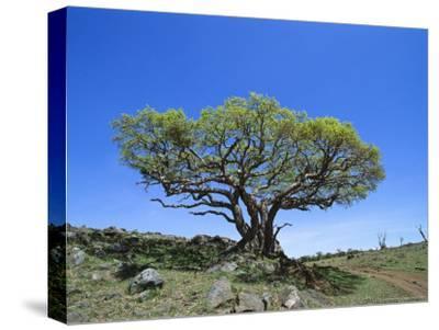 Fig Tree Grows on a Rocky Hillside Near a Dirt Road