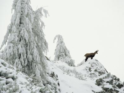 Fir Trees and Chamois in Snow, Berchtesgaden National Park, Germany