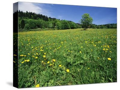 Flowering Meadow, Bayerischer Wald National Park, Germany