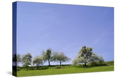 Fruit Trees with Clusters of Mistletoe, in Bloom in Spring