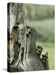 Group of Young Racoons Peer Out From Behind a Tree Stump by Norbert Rosing
