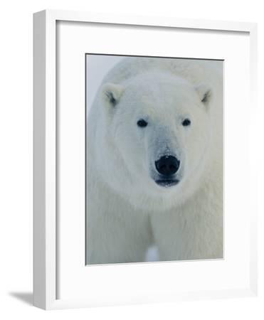 Head Shot of a Polar Bear