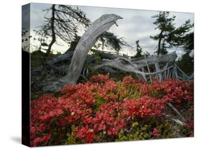 In Fall Red Leaves of Alpine Bearberry and Blueberry Carpet Lowlands
