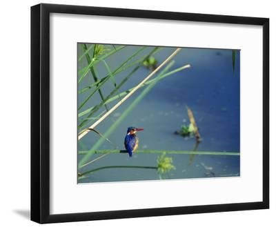 Kingfisher Sits on a Pondside Grass