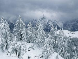 Larch and Mountain Pine in Snow, Berchtesgaden National Park, Germany by Norbert Rosing