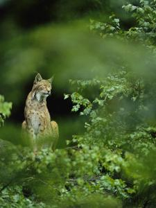 Lynx in Woodland by Norbert Rosing