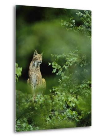 Lynx in Woodland
