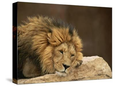 Male Lion Rests Upon a Rock