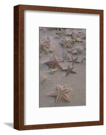 Many Starfish Washed Ashore on the Beach of the Ellbogen Northern Part of the Island