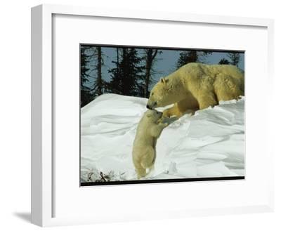 Mother Polar Bear Coaxes Her Cub up a Snow Bank