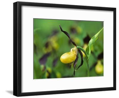 Orchid, Jasmund National Park, Germany