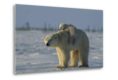 Polar Bear Cub Riding On Its Mother's Back