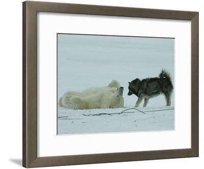 Polar Bear Lolls on His Back While a Husky Looks On