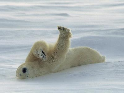 Polar Bear Rolling in the Snow