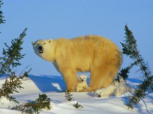 Polar Bear with Cubs by Norbert Rosing
